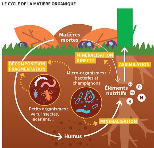 Schéma « Le cycle de la matière organique » - Voir descriptif détaillé ci-dessous.